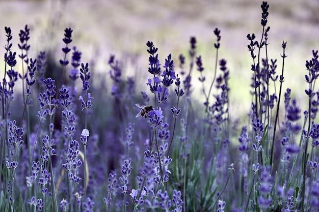 Gros Plan D'une Abeille Sur Une Fleur Violette Photo gratuit