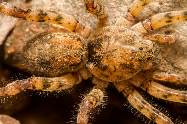 Gros plan sur une araignée zoropsis spinimana. Photo Premium
