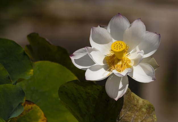 Gros Plan D'un Beau Lotus Sacré Blanc Photo gratuit