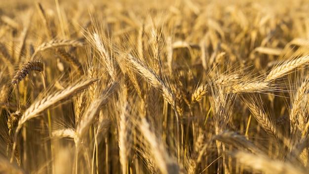 Gros plan de beaux grains d'or Photo gratuit