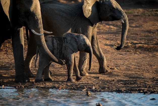 Gros Plan D'un Bébé éléphant Marchant Avec Le Troupeau Photo gratuit