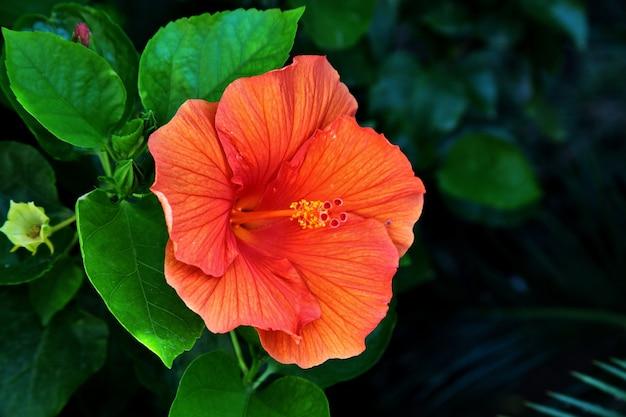 Gros Plan D'un Bel Hibiscus Hawaïen En Toscane Et à L'île D'elbe En Italie Photo gratuit