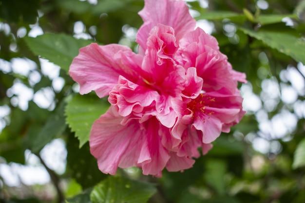 Gros Plan D'un Bel Hibiscus Rose En Pleine Floraison Photo gratuit