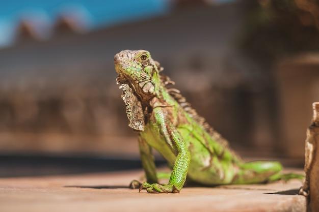 Gros Plan D'un Bel Iguane Capturé Dans Le Nord Du Brésil, Ceara, Fortaleza / Cumbuco / Parnaiba Photo gratuit