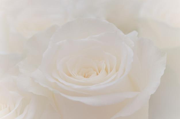 Gros plan d'une belle rose blanche. Photo Premium