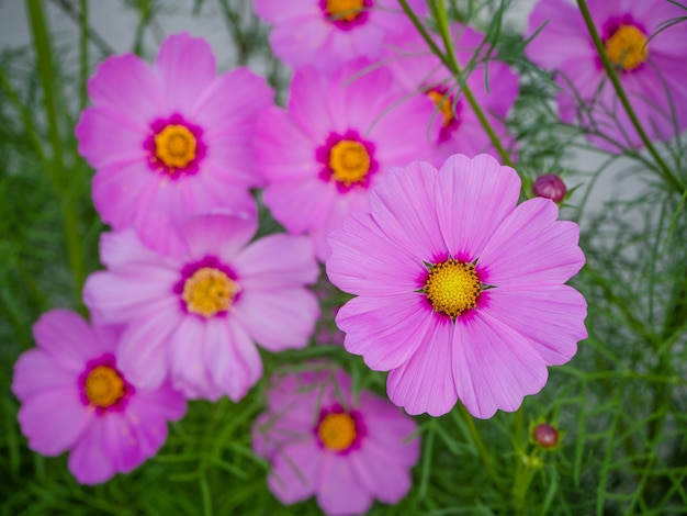 Gros plan de belles fleurs de cosmos en fleurs Photo Premium