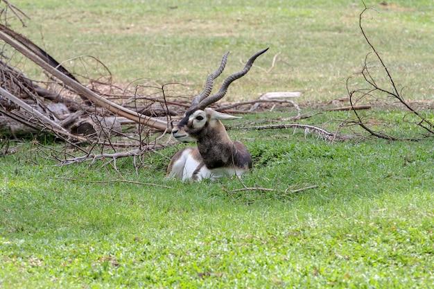 Gros plan blackbuck asseyez-vous dans le jardin Photo Premium