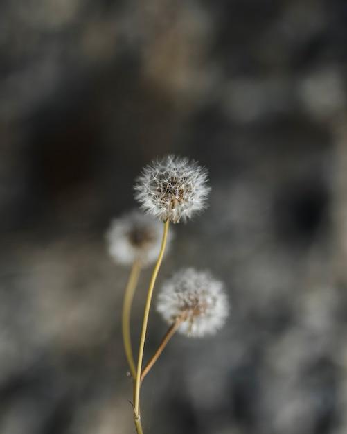 Gros plan, blanc, pissenlit, fleurs Photo gratuit
