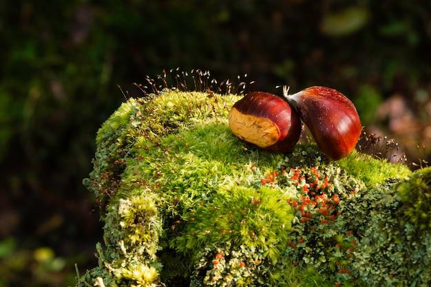 Gros plan d'une boucle verte de châtaignes, tombée sur les restes d'un tronc. Photo Premium
