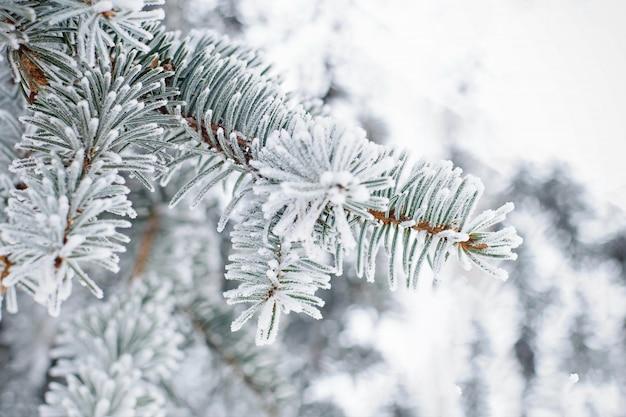Gros plan d'une branche de sapin dans la neige. fond de nature hiver. Photo Premium