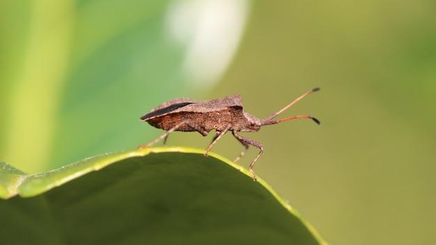 Gros Plan D'un Bug De Bouclier Brun Sur La Feuille Photo gratuit