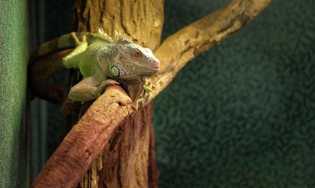 Gros plan d'un caméléon panthère sur une branche Photo Premium