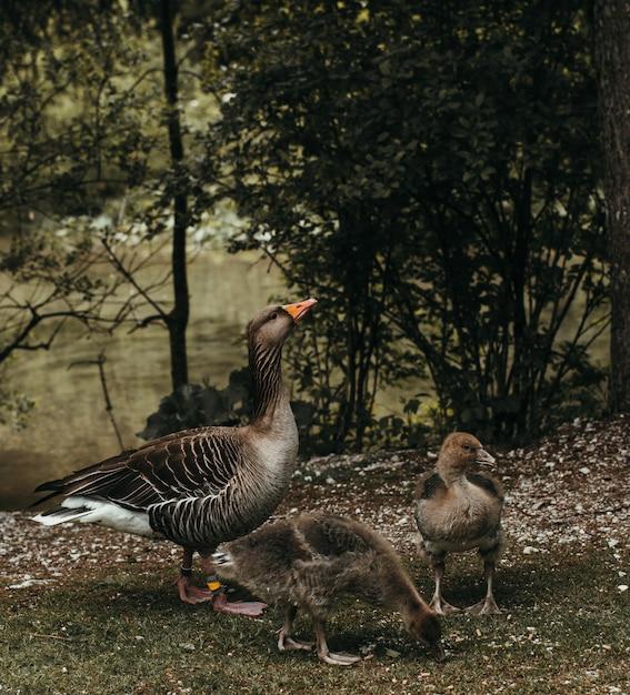 Gros Plan D'un Canard Avec Ses Canetons Près D'une Rivière Photo gratuit