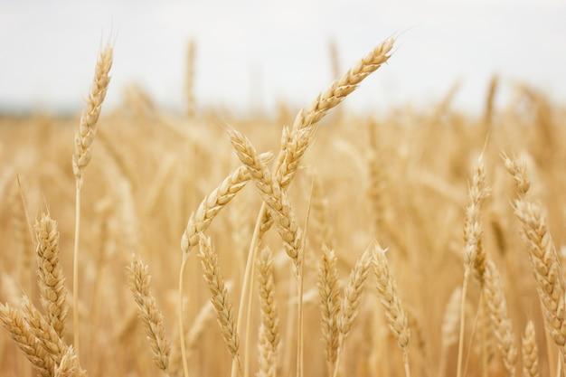 Gros plan de champ de blé, concept d'agriculteur, récolte Photo Premium