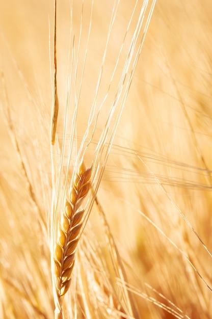 Gros plan d'un champ de blé doré et journée ensoleillée. Photo Premium