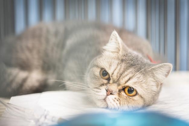 Gros plan d'un chat écossais assis dans la cage Photo Premium