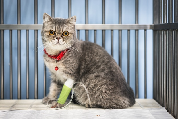 Gros plan d'un chat scottish fold assis dans la cage chez l'animal Photo Premium