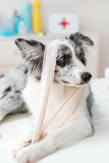 Gros plan, chien, bandage, table Photo gratuit
