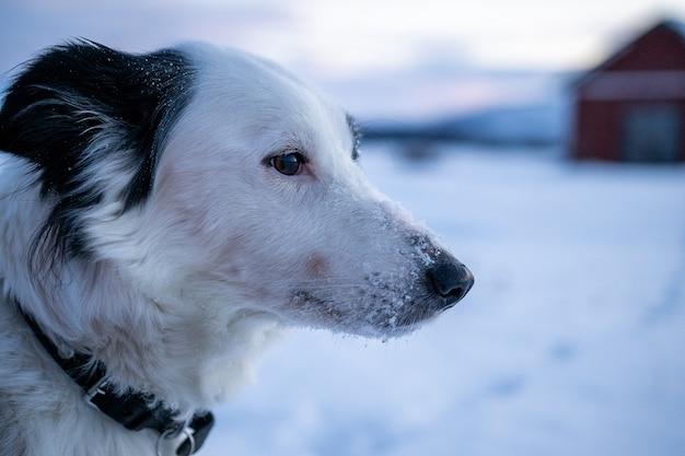 Gros Plan D'un Chien Mignon Avec De La Neige Sur Son Nez Dans Le Nord De La Suède Photo gratuit