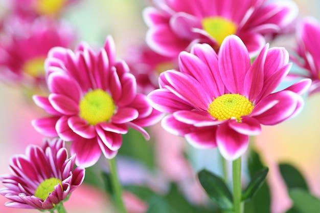 Gros plan, chrysanthème Photo Premium