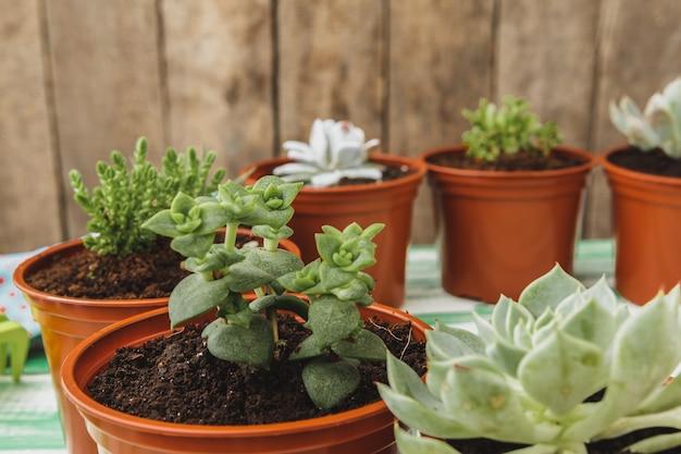 Gros plan de la collection de plantes succulentes à la maison sur une table en bois Photo Premium