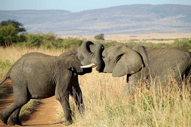 Gros Plan D'un Couple D'éléphants S'embrassant Avec Les Troncs Photo gratuit