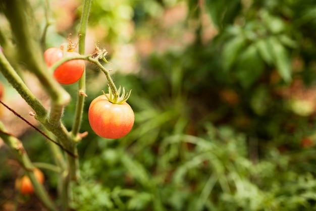 Gros plan, croissant, tomate rouge, sur, branche Photo gratuit