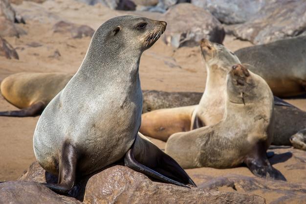 Gros Plan Du Groupe De Lions De Mer Portant Sur Les Rochers Photo gratuit