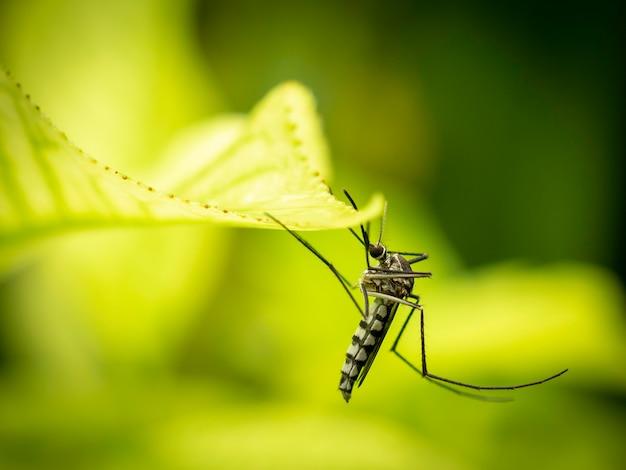 Gros plan du moustique aedes aegypti Photo Premium
