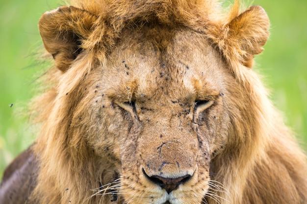 Un Gros Plan Du Visage D'un Lion Dans La Savane Du Kenya Photo Premium