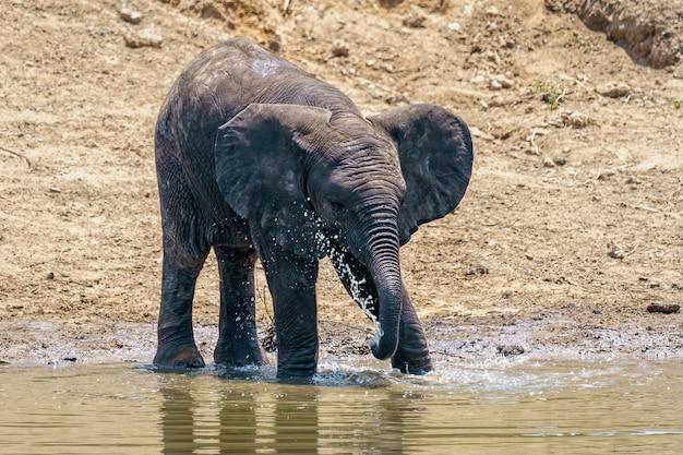 Gros Plan D'un éléphant De Boire Et De Jouer Avec L'eau Du Lac Pendant La Journée Photo gratuit