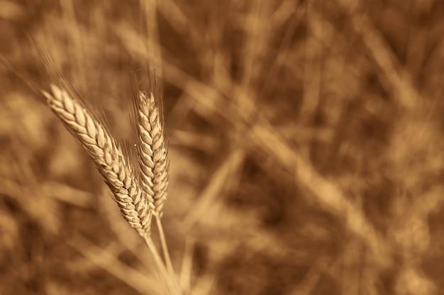Un gros plan d'épis de blé, sur le fond d'un champ, est jaune Photo Premium