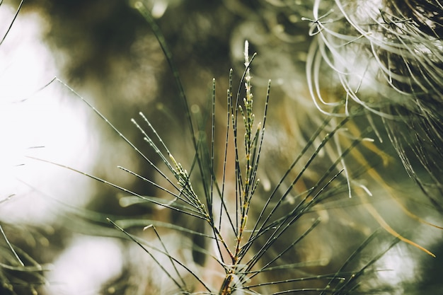 Gros plan de feuilles de pin australien, de bois de boeuf, de bois de fer commun, de faux bois de fer, de faux pin, de chêne des marais du queensland, de chênes de mer, de chênes verts, de bois de boeuf. (casuarina equisetifolia). Photo Premium