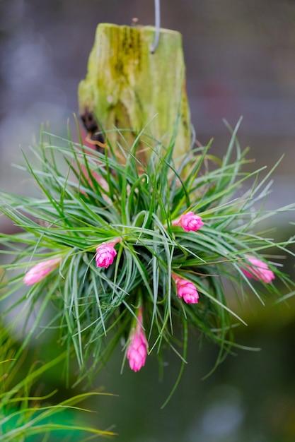 Gros plan de la fleur de broméliacées Photo Premium