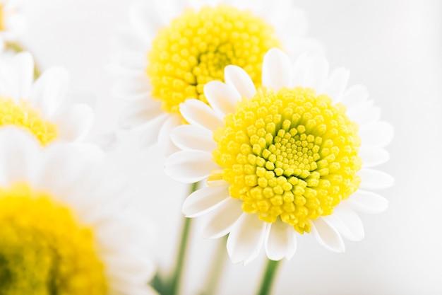 Gros plan, fleur camomille Photo gratuit