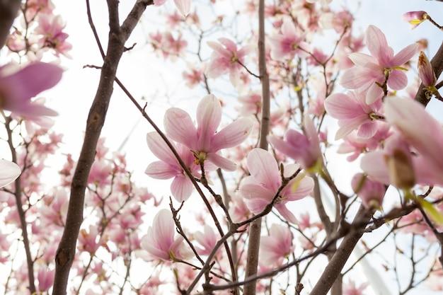 Gros plan de fleur de magnolia arbre avec fond flou et soleil chaud Photo Premium