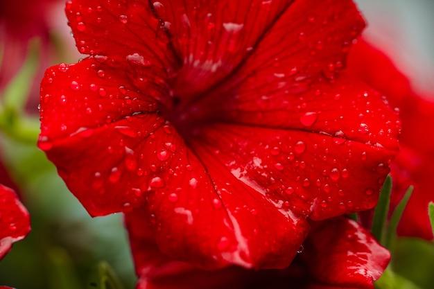 Gros Plan De Fleur De Pétunia Rouge Avec Des Gouttes De Rosée Sur Les Pétales Photo gratuit