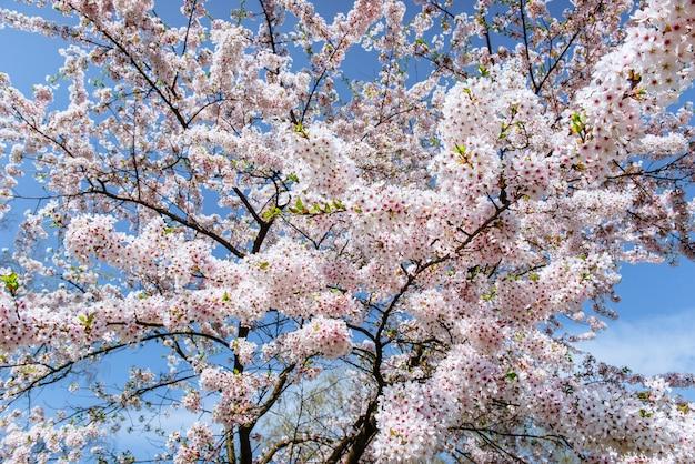 Gros Plan De Fleurs De Cerisier Aux Amandes Roses. Fleurs De Printemps Photo Premium