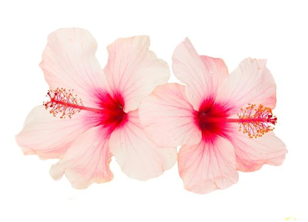 Gros Plan Sur Les Fleurs D'hibiscus Isolés Photo Premium