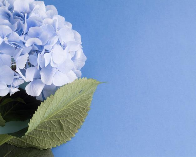 Gros plan de fleurs d'hortensias sur fond bleu blanc Photo gratuit