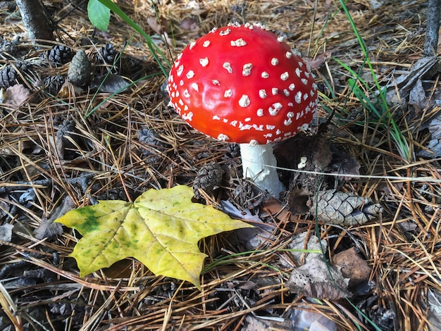 Gros Plan Sur Fly Agaric En Forêt D'automne Photo Premium