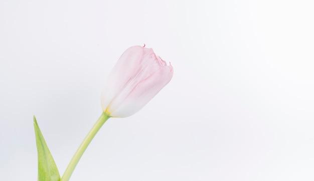 Gros Plan, De, Frais, Rose, Tulipe, Fleur, Sur, Blanc, Toile De Fond Photo gratuit