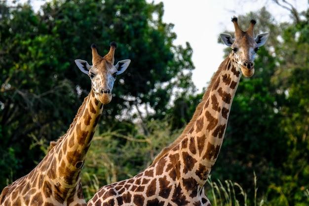 Gros Plan D'une Girafe Deux Près De L'autre Photo gratuit