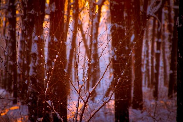 Gros plan de gouttes gelées sur une branche d'arbre, coucher de soleil dans une forêt enneigée et les rayons du soleil à travers les branches. Photo Premium