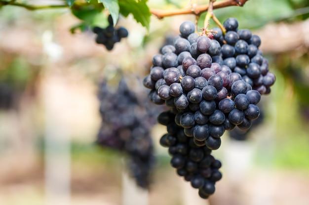 Gros plan, de, grappes, de, mûr, raisin vin rouge pourpre, sur, vigne Photo Premium