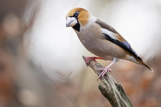 Gros Plan D'un Hawfinch Mâle Assis Sur Une Branche Photo gratuit