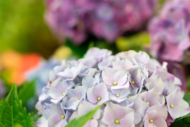 Gros plan d'hortensias verts (hydrangea macrophylla) en fleurs au printemps Photo Premium