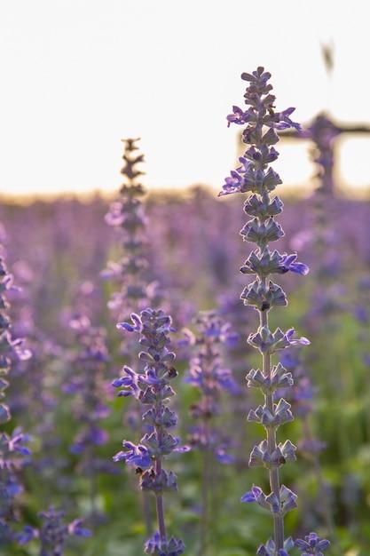 Gros plan image de fleurs de lavande violettes dans le champ en journée ensoleillée Photo Premium
