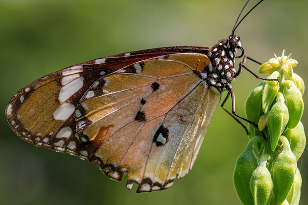 Gros Plan Image De Papillon Tigre Ordinaire Reposant Sur La Plante Photo Premium