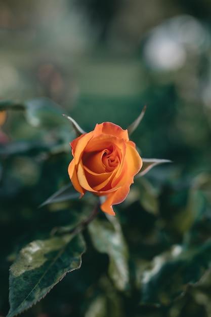Gros Plan D'une Incroyable Fleur Rose Orange Photo gratuit